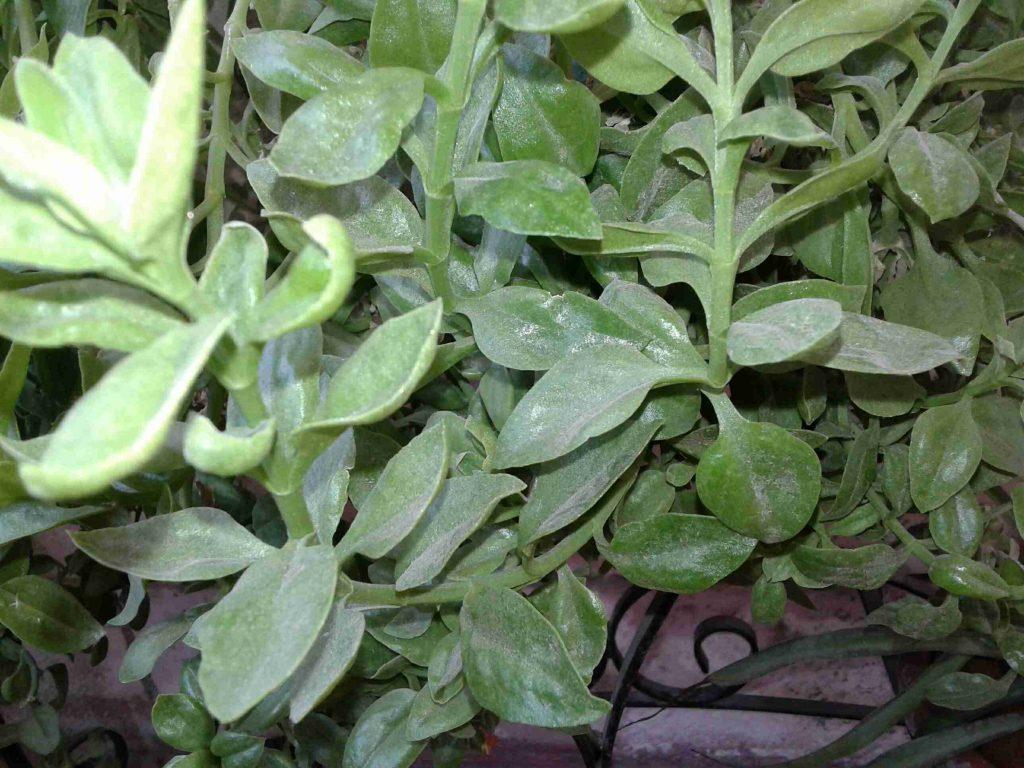 نبتة قطر الندى او تراجي العروس كيف يمكننا زراعتها والاكثار منها