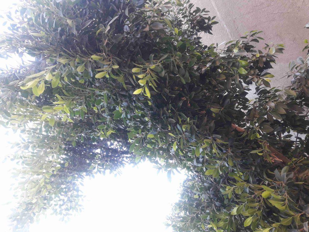 ملكة الأبداع زراعة شجر الفيكس بنجامينا فلبيت